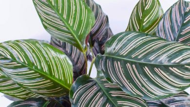Calathea is a great indoor plant